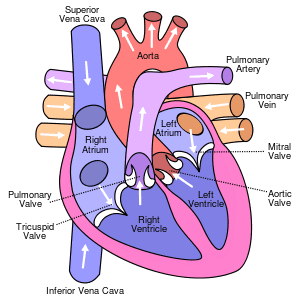 300px-Diagram_of_the_human_heart_(cropped).svg.png