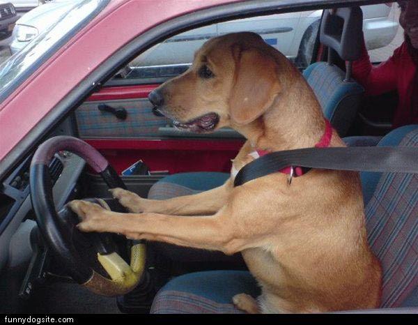 Driving_Dog.jpg