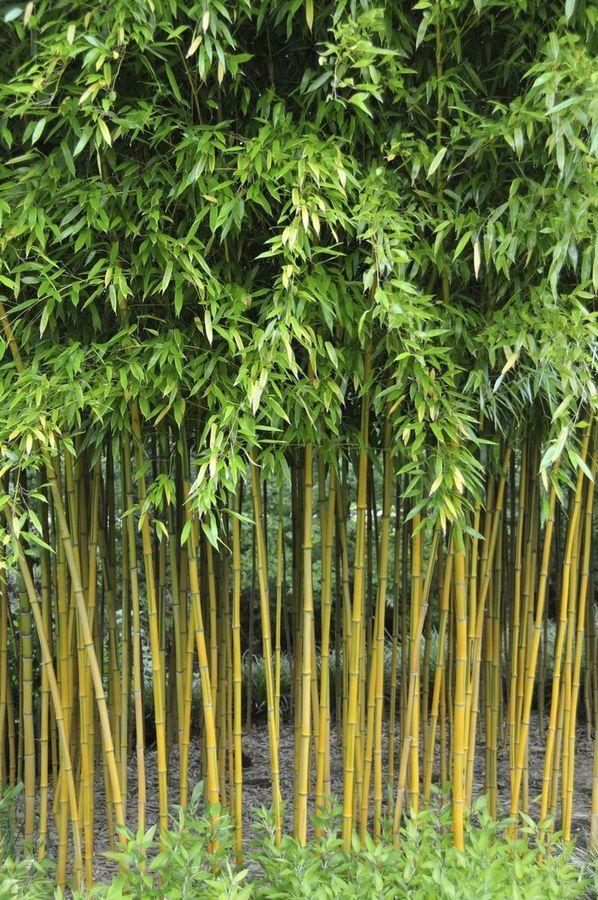 f3a68cf73f415530e20f3acb833e3f4b--bamboo-plants-bamboo-garden.jpg