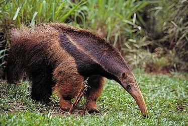 Giant-anteater-4059.jpg