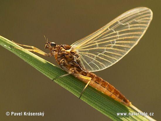 may-fly-1474.jpg