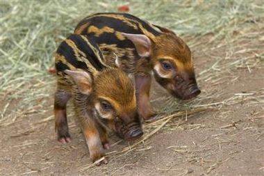 red_river_hog_piglets.jpg