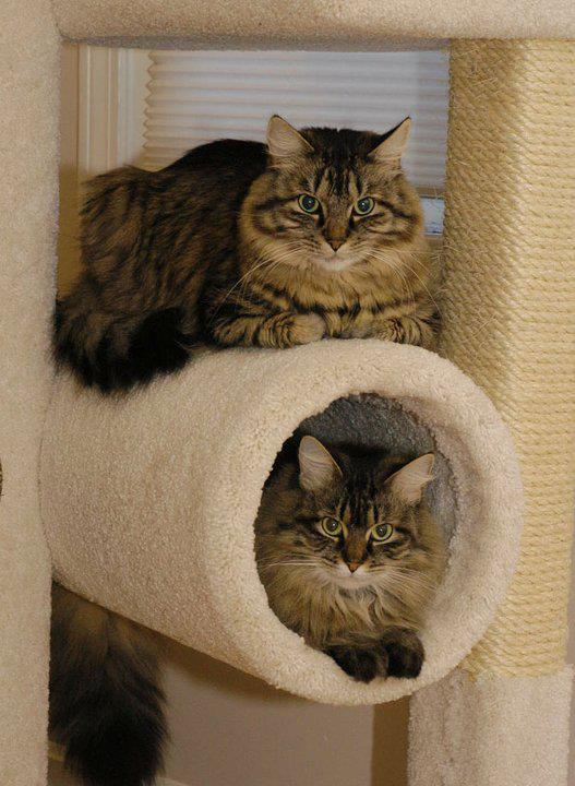 reggie and vic on cat tree.jpg