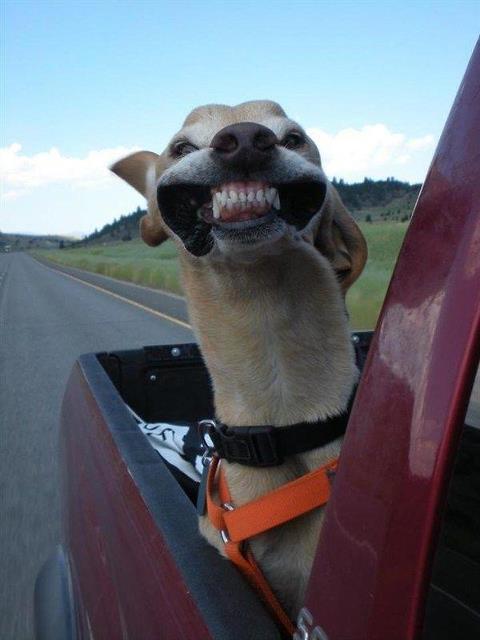 smiling-dog-back-of-pick-up-truck.jpg