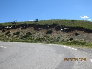 th-201706-italy-france-trip-animals-07-hautacam-sheltering-sheep.jpg