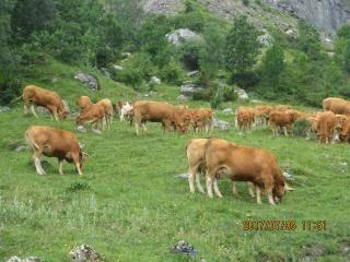 th-201706-italy-france-trip-animals-09-col-de-tentes-cows.jpg