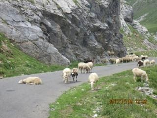 th-201706-italy-france-trip-animals-11-col-de-tentes-sheep-on-road.jpg