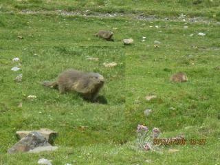 th-201706-italy-france-trip-animals-12-col-de-tentes-marmots.jpg