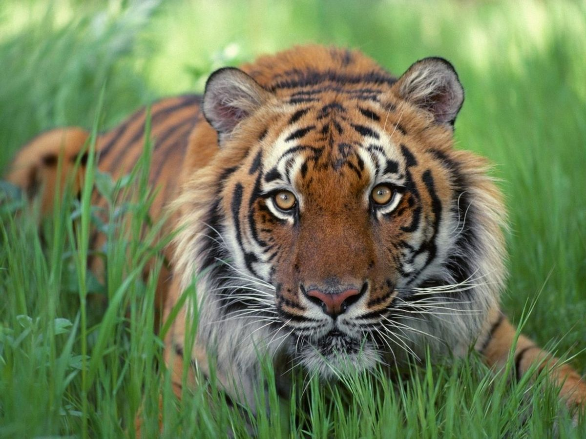 Tiger-in-the-grass-1600-1200.jpg