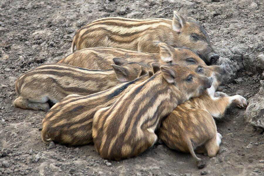 wild_boar_piglets___4420_by_jaded_paladin-d46dzgf.jpg