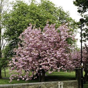 Tree in bloom at Tewit Well, Harrogate