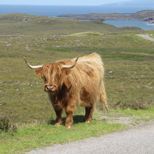 Highland cattle north of Applecross